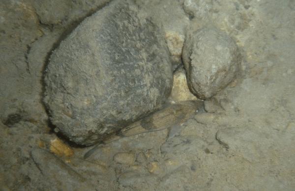 Espèce Zingel asper identifiée dans le Buëch